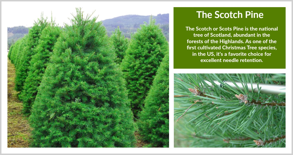 Scotch Pine Christmas Tree.About Trees